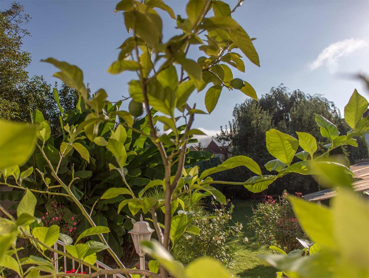 Citromfa, háttérben a banánfával